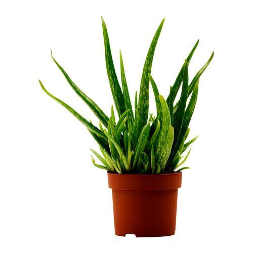 IKEA aloe vera potted plant, $3.99