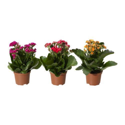 IKEA Kalanchoe potted plant, $3.99