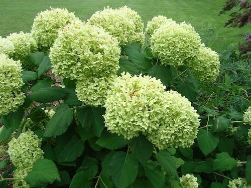 Hydrangea, $4.70/stem (from FiftyFlowers.com)