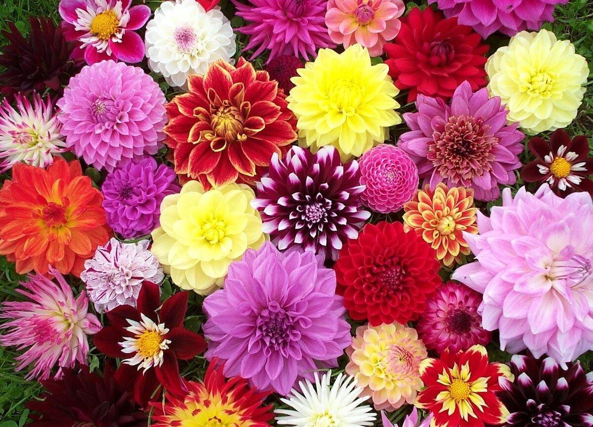 Wedding Flowers: Dahlias