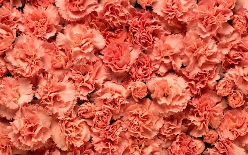 where to buy carnations